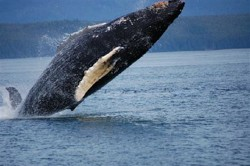 Hoonah whale watching