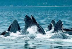 Humpback Whales Frederick Sound bay Alaska