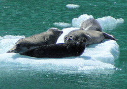 Sawyer Glacier seals