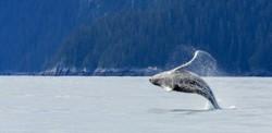 Hampback Whale